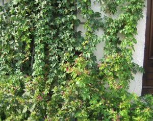 Can you see the black kitty hiding in the vines on the window sill?