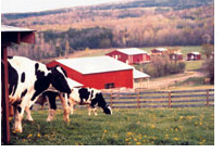 Cows eating grass outdoors? Imagine that!
