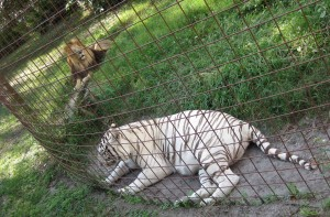 Male Lion and his white tiger female friend at Big Cat Rescue, 2008.