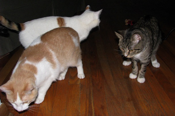 Michael hanging with his cat buddies in his new foster home.