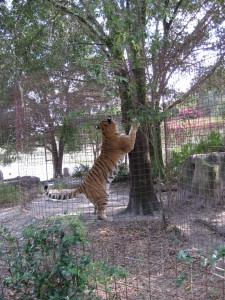 Does anyone have a scratching post in their home big enough for this guy?