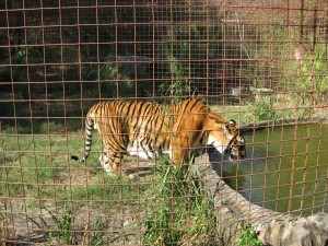 Tigers love water and each of the tiger habitats have a pool for the cats to swim in.