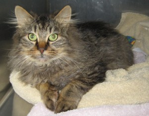 Albert is feline leukemia positive and needs a loving home to hang out.